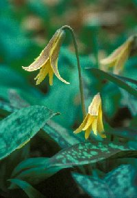 (Erythronium-Americanum) New England Wild Flower Society, Photo by Dorothy Long