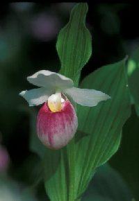 PHOTO: New England Wild Flower Society - Ladyslipper (2006)