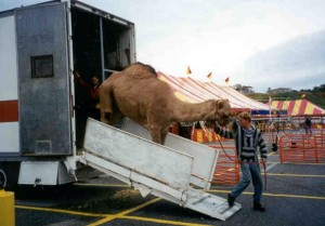 PHOTO - camel from Records & Burpee Traveling Zoo.