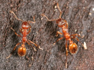 PHOTO - Myrmica Rubra (European Fire Ant)