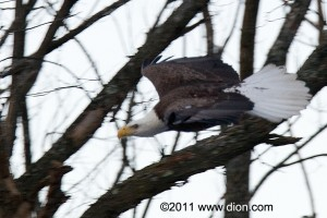 PHOTO - Eagle flying on the banks of Sudbury River near Simpson Park, Framingham (c) Wayne Dion, 1/31/2011.