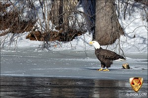 PHOTO - Eagle eating on bank of Sudbury River near Simpson Park in Framingham, (January 2011)