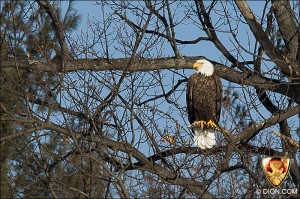 PHOTO - American Bald Eagle, Framingham, MA, January 31, 2011